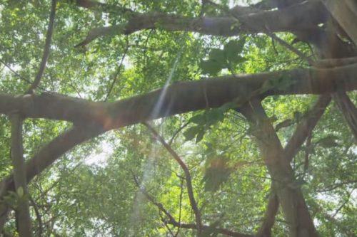 Święte drzewo wścibskie