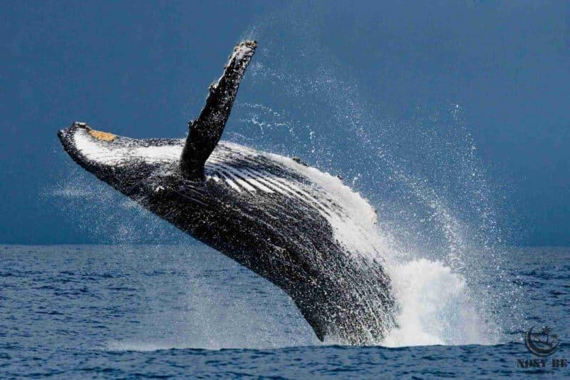 Wieloryb Safari w Nosy Be