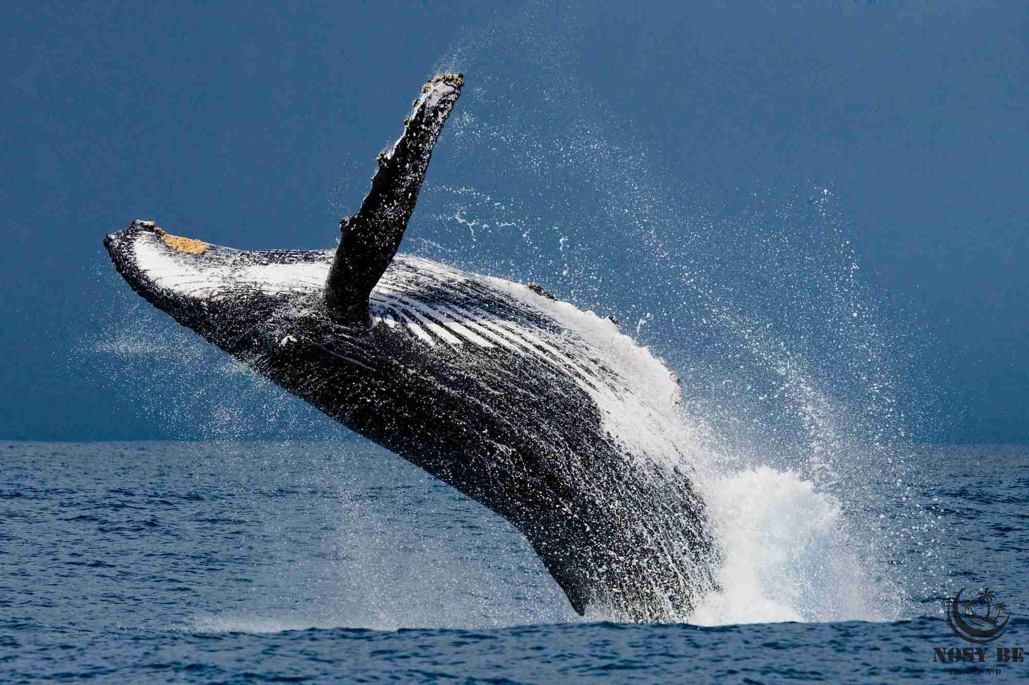 Safari Baleine depuis Nosy Komba