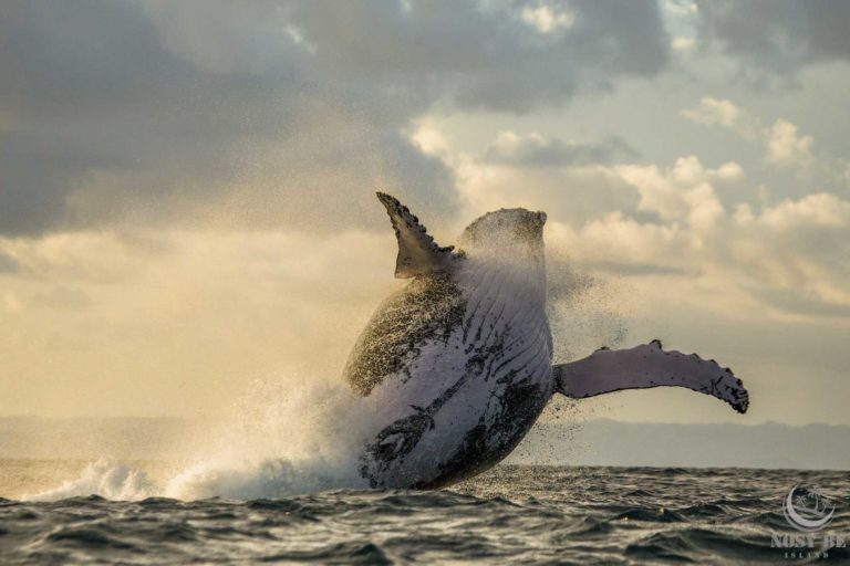 Meet the humpback whales on a responsible whale safari