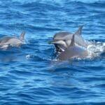 wścibski delfin
