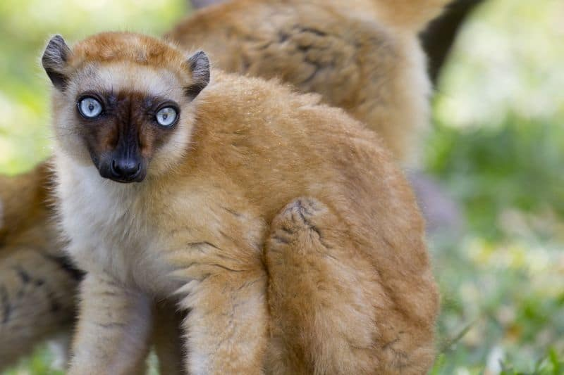 Lemurien à Nosy Be