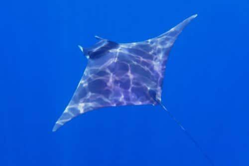 Manta ray wścibski