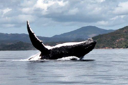 Baleine hors de l'eau à nosy be