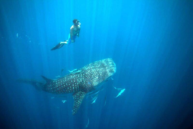 Rekin wielorybi wścibski komba