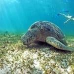 Snorkeling nosy komba