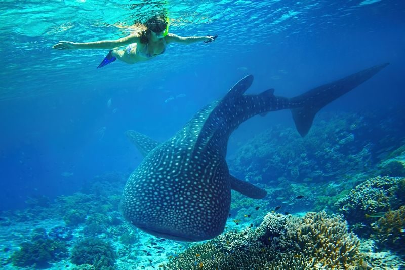 whale sharks nosy be