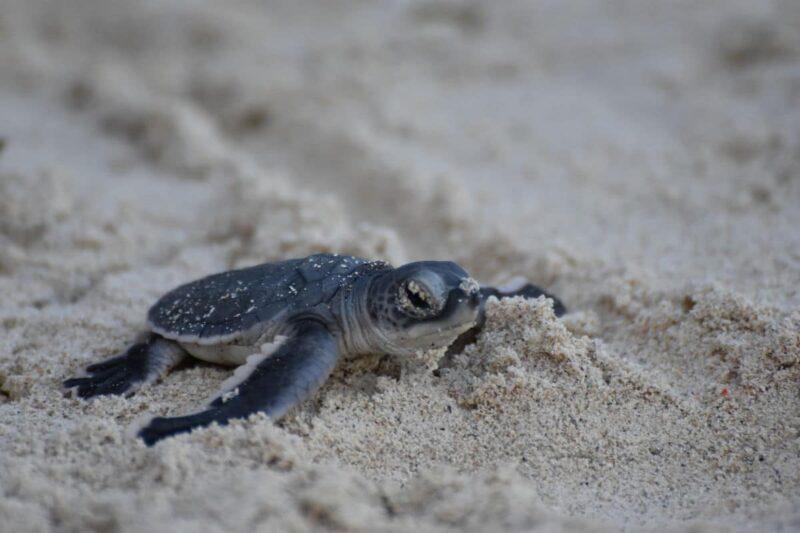 Żółw w Nosy Iranja