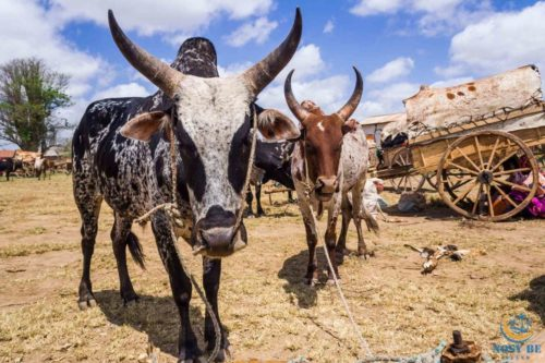 Zebu: Means of transport to nosy be