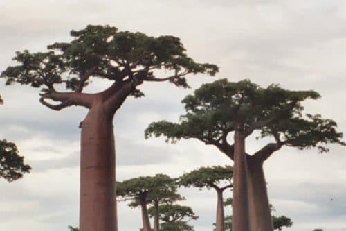 Le Baobab, un arbre mythique