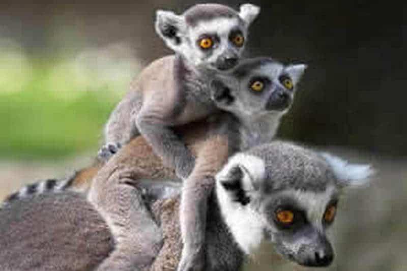 Lemury,