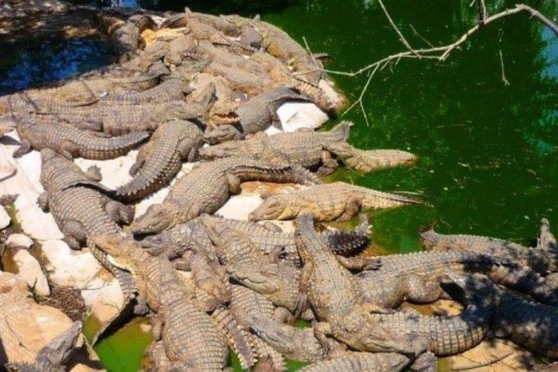 krokodyl madagaskar