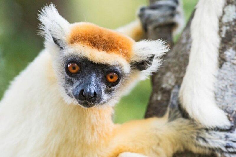 lemurien diego