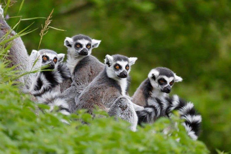 lemurska tana