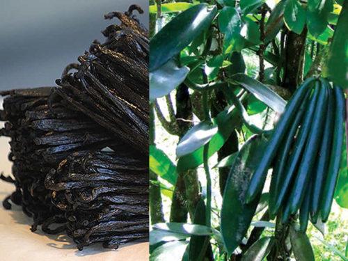 Discover the vanilla cooperatives in Sambava