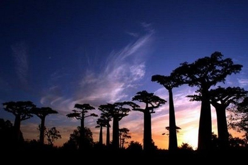 Tramonto del baobab del Madagascar