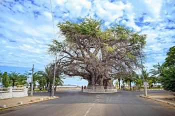 Baobab z Madagaskaru