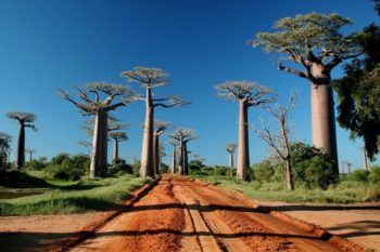 Discover the secrets of the baobabs, these giants of Madagascar