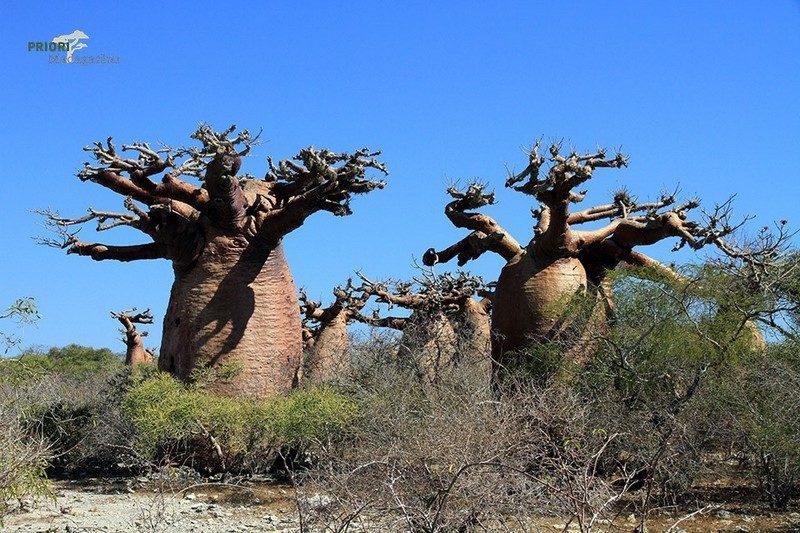 Madagascar baobab