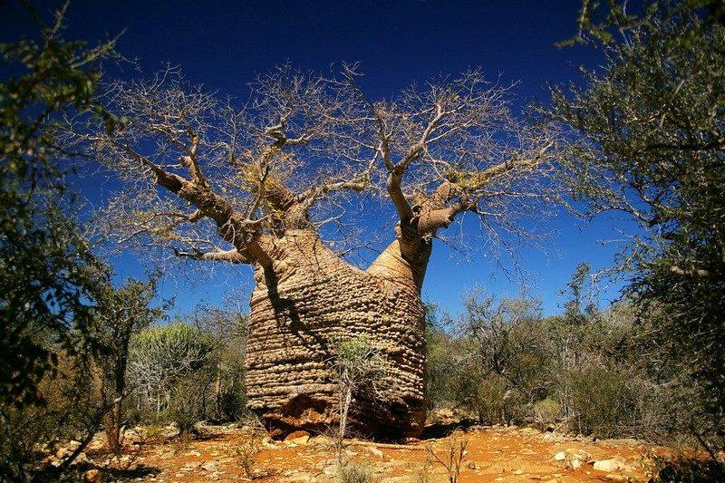 Tour del baobab del Madagascar