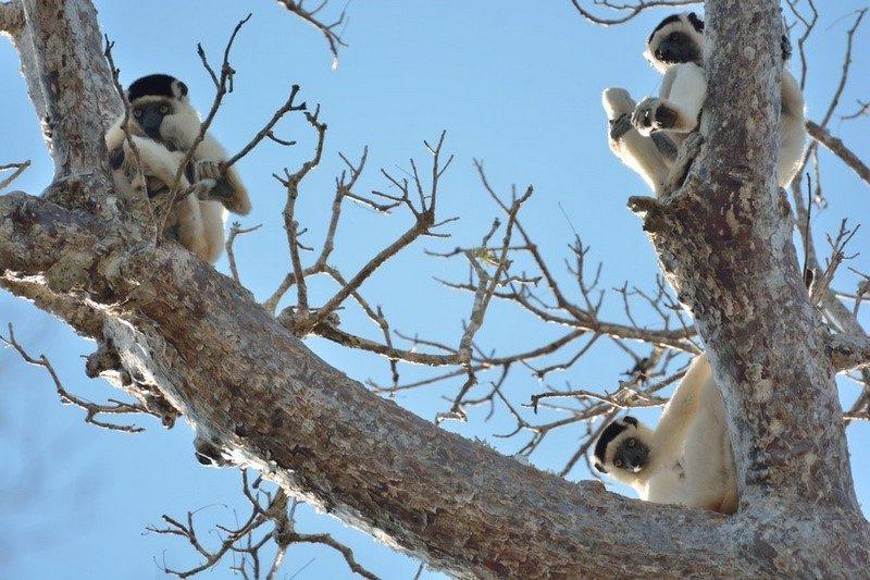 Lemuri sul baobab Madagascar