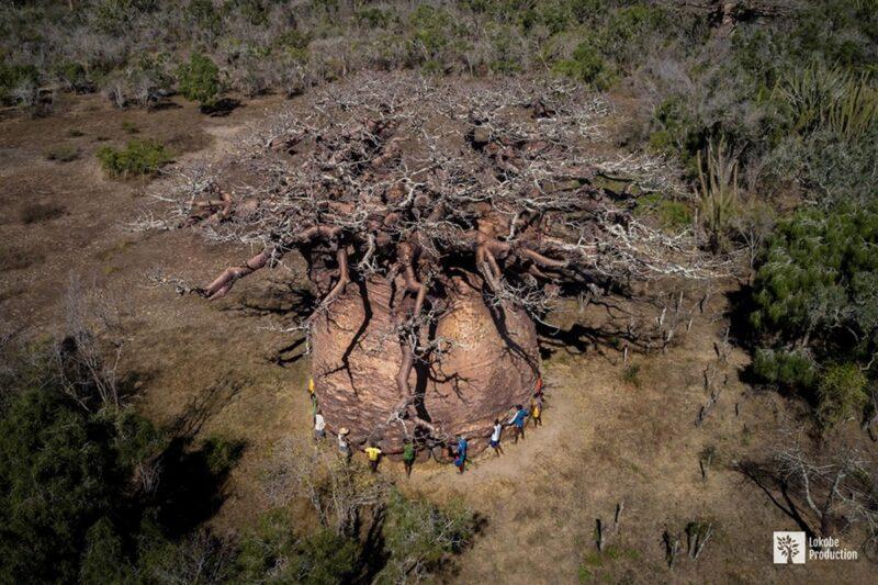 le plus grand baobab du monde