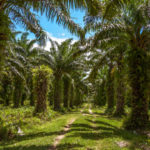 Palm oil plantation - Tamatave