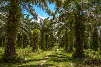 Palm oil plantation - Tamatave