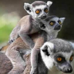 The lemurs,