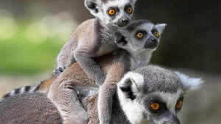 The lemurs,