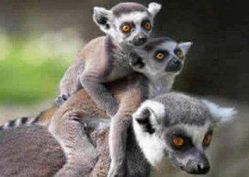 Les lémuriens,