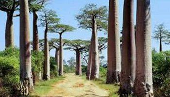 l'Allée des Baobabs à Morondava