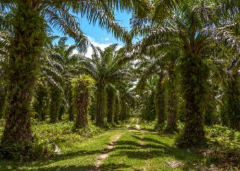 Plantation Huile de palme - Tamatave