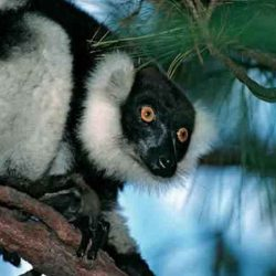 Incontro con Indri-Indri nella Riserva Speciale Analamazaotra