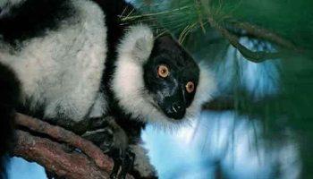 Rencontre avec l'Indri-Indri à la réserve spéciale d'Analamazaotra